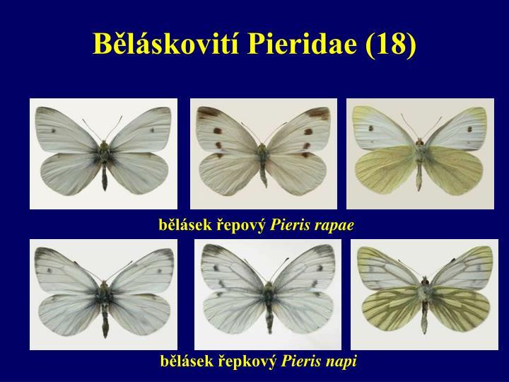 Běláskovití Pieridae (18)