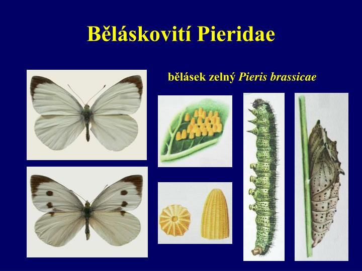 Běláskovití Pieridae