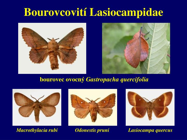 Bourovcovití Lasiocampidae