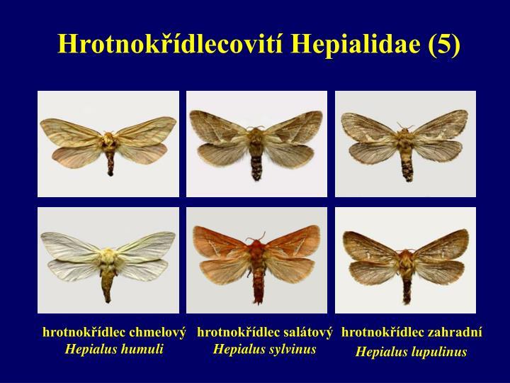 Hrotnokřídlecovití Hepialidae (5)