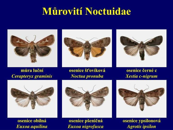Můrovití Noctuidae