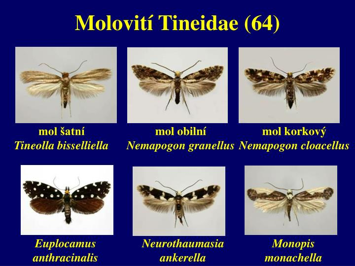 Molovití Tineidae (64)