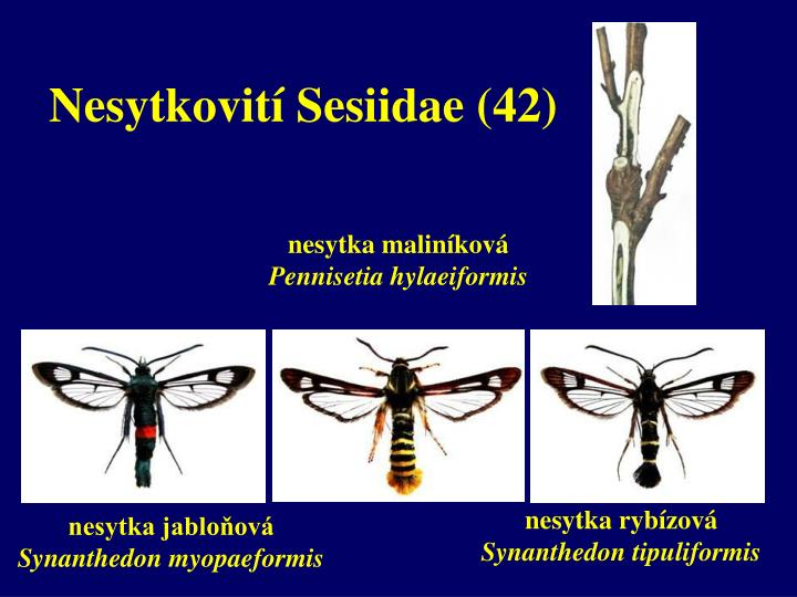 Nesytkovití Sesiidae (42)