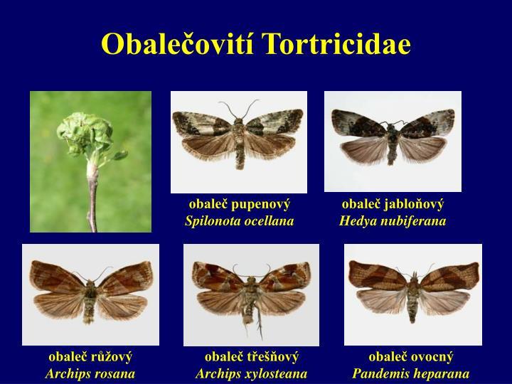 Obalečovití Tortricidae