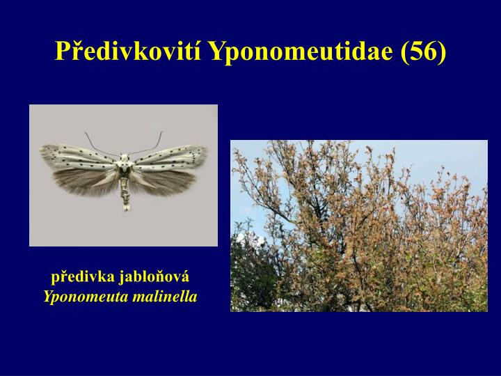 Předivkovití Yponomeutidae (56)