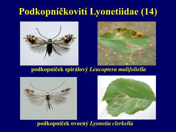 Podkopníčkovití Lyonetiidae (14)