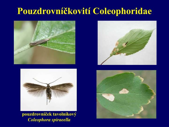 Pouzdrovníčkovití Coleophoridae