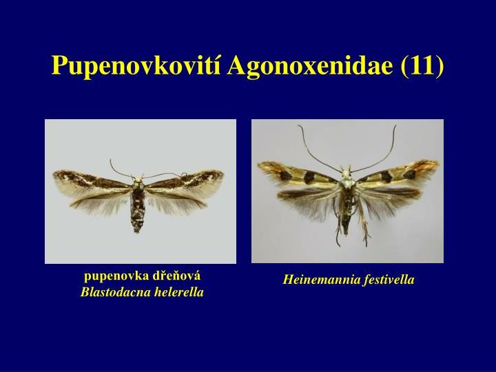 Pupenovkovití Agonoxenidae (11)
