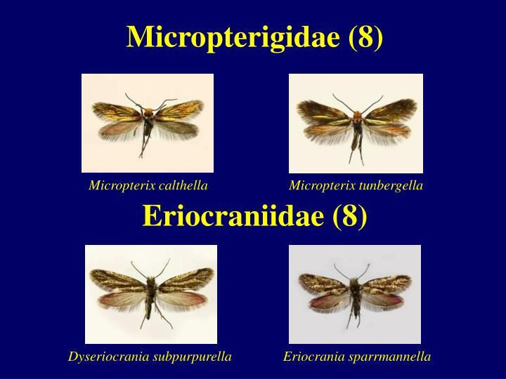 Micropterigidae (8)