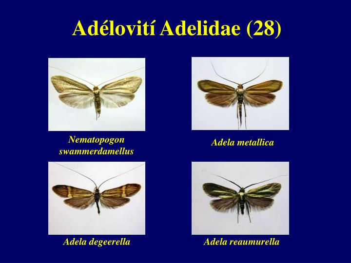 Adélovití Adelidae (28)
