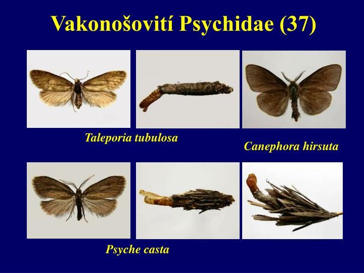 Vakonošovití Psychidae (37)
