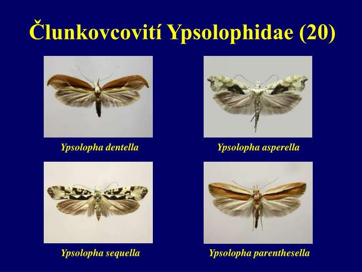 Člunkovcovití Ypsolophidae (20)
