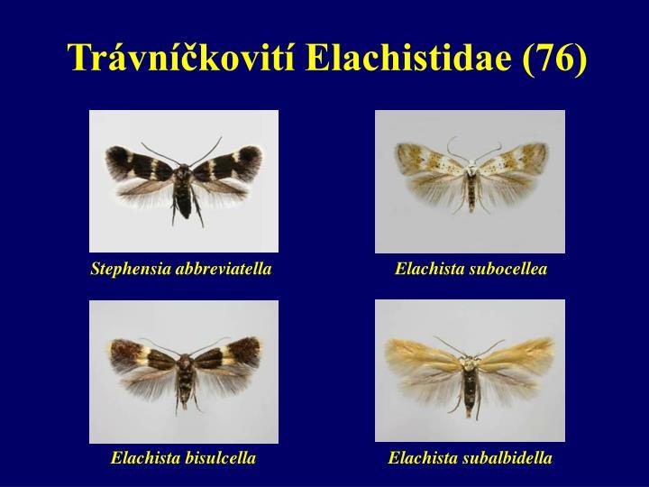 Trávníčkovití Elachistidae (76)