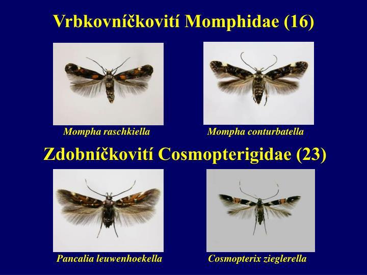 Vrbkovníčkovití Momphidae (16)