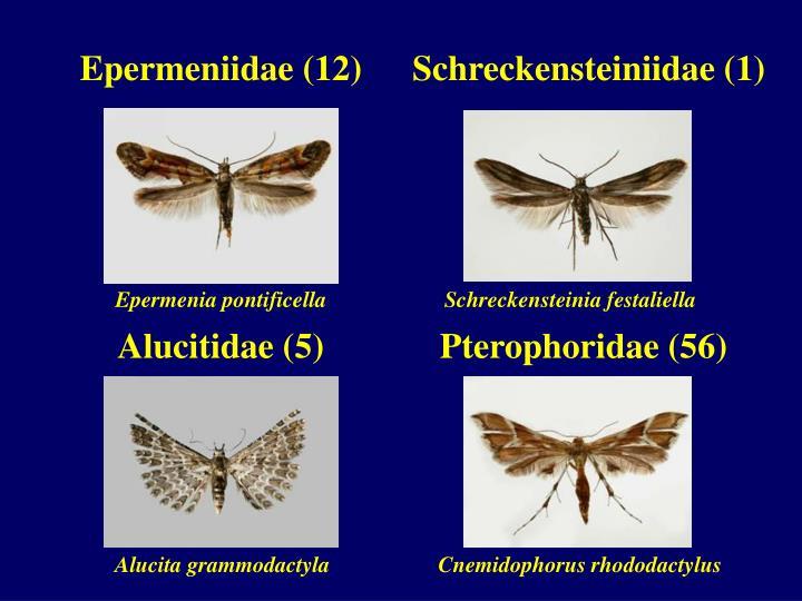 Epermeniidae (12)