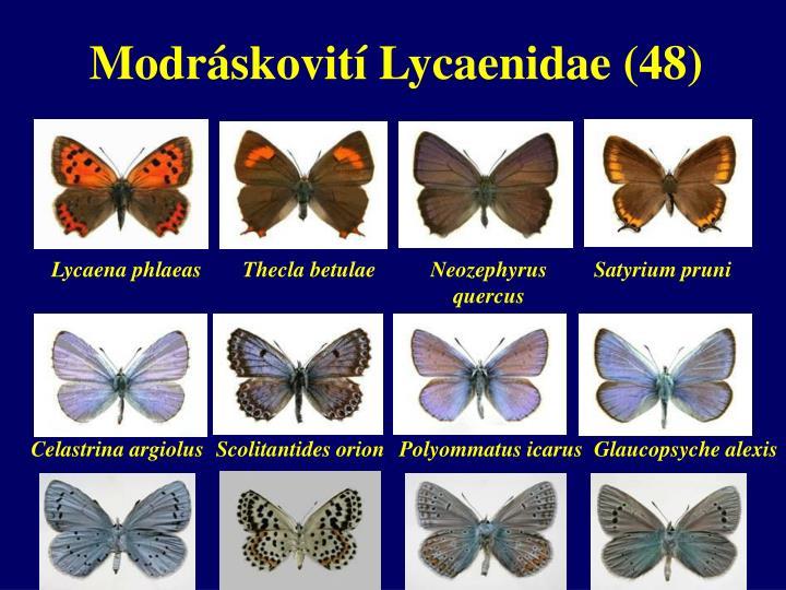 Modráskovití Lycaenidae (48)