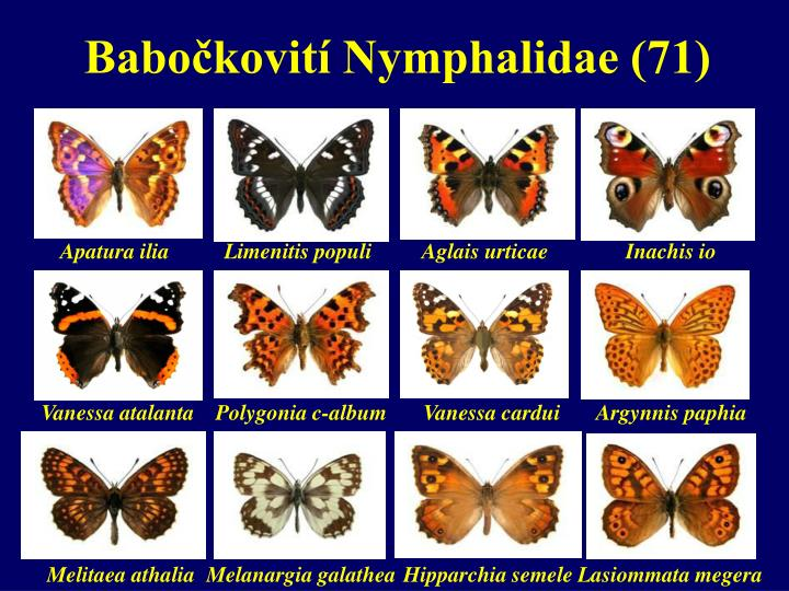 Babočkovití Nymphalidae (71)