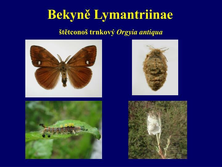 Bekyně Lymantriinae