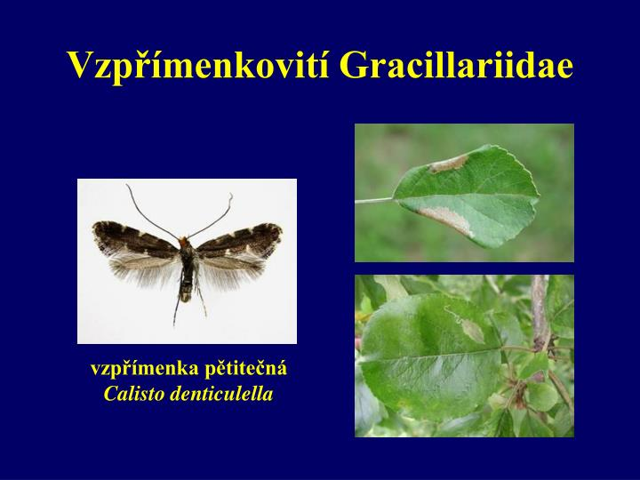 Vzpřímenkovití Gracillariidae