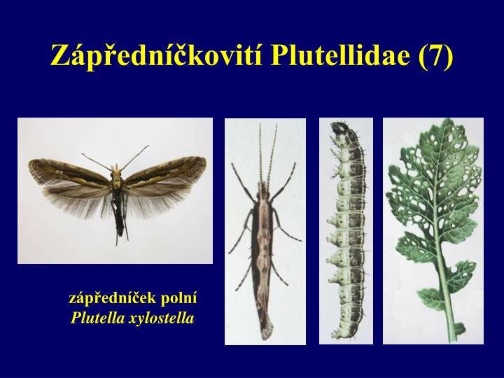Zápředníčkovití Plutellidae (7)