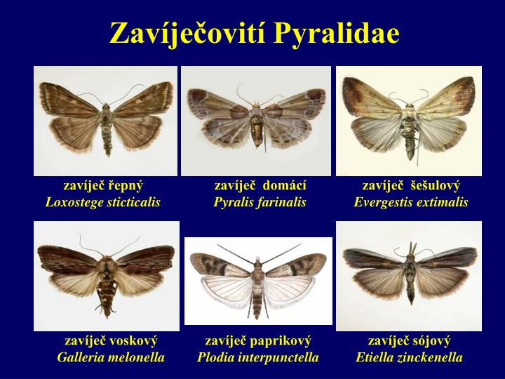 Zavíječovití Pyralidae
