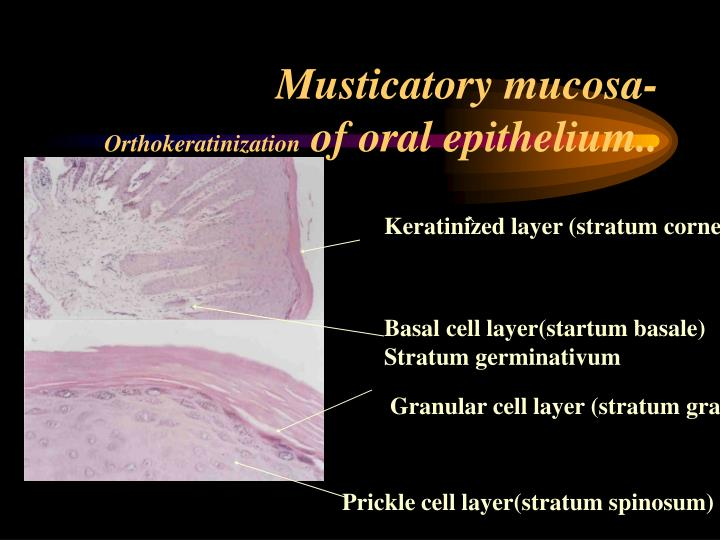 Musticatory mucosa-