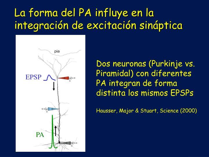 La forma del PA influye en la integración de excitación sináptica