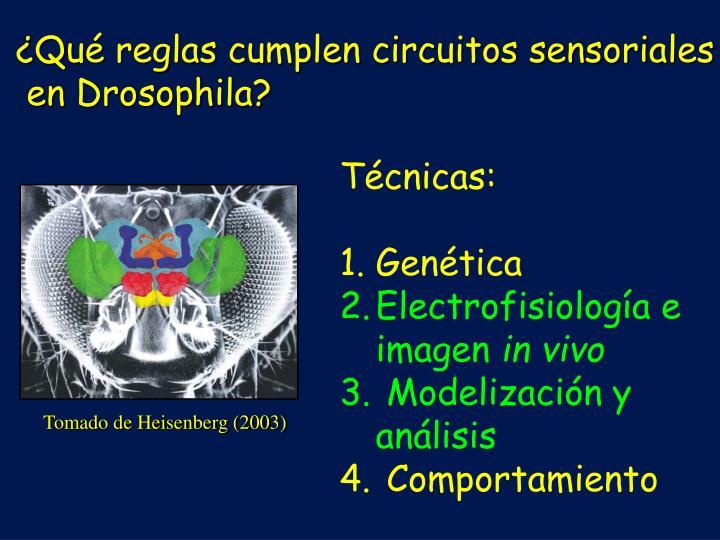 ¿Qué reglas cumplen circuitos sensoriales