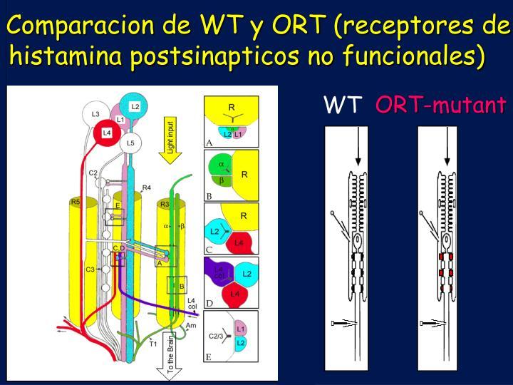 Comparacion de WT y ORT (receptores de histamina postsinapticos no funcionales)
