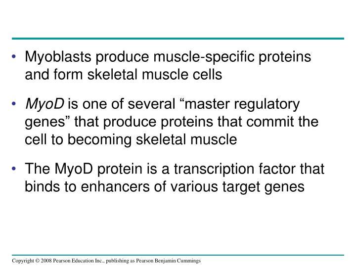 Myoblasts