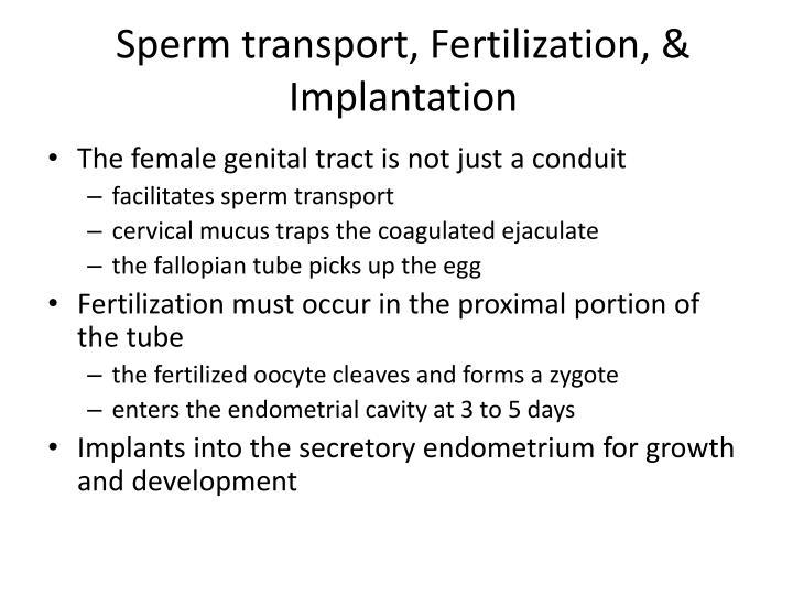 Sperm transport, Fertilization, & Implantation