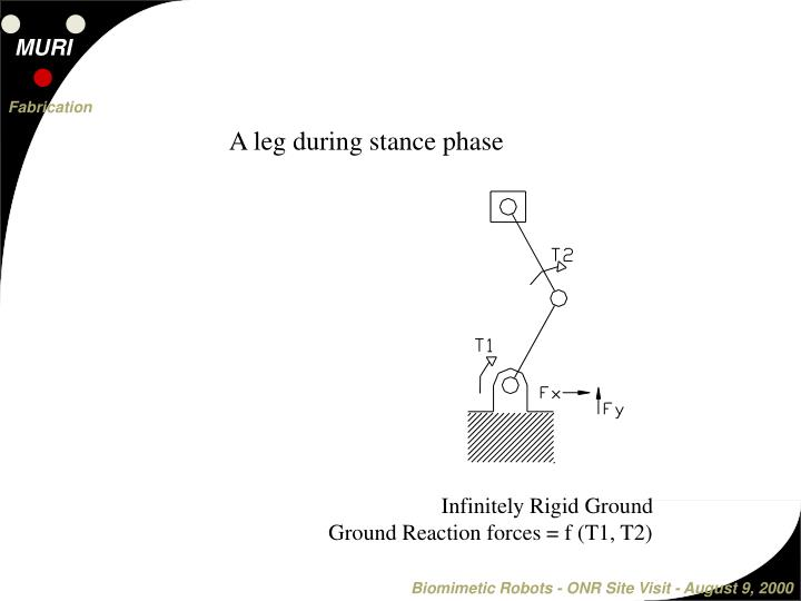 A leg during stance phase