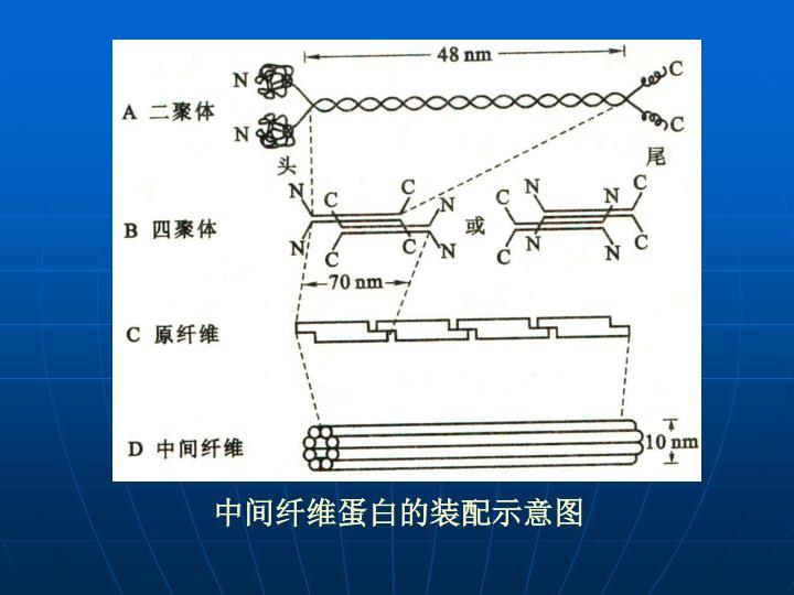 中间纤维蛋白的装配示意图
