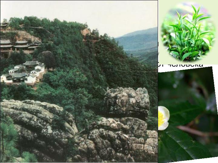 Чайное растение