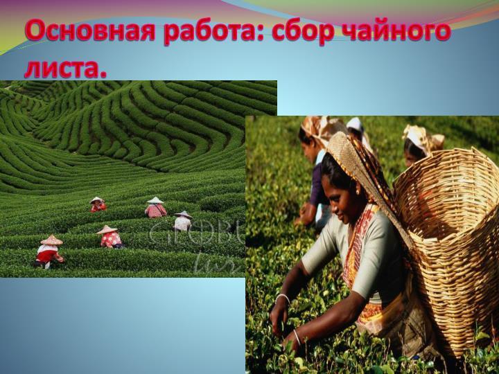 Основная работа: сбор чайного листа.