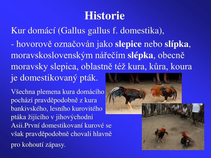 Všechna plemena kura domácího pochází pravděpodobně z kura bankivského, lesního kurovitého ptáka žijícího v jihovýchodní Asii.První domestikovaní kurové se však pravděpodobně chovali hlavně pro kohoutí zápasy.