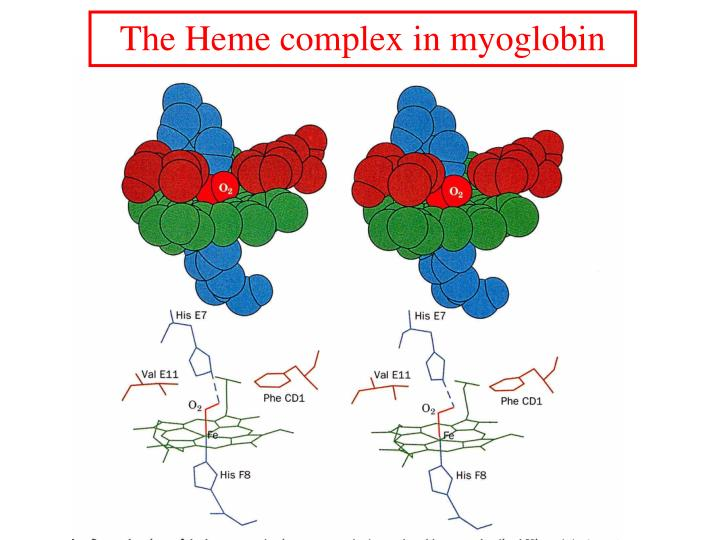 The Heme complex in myoglobin