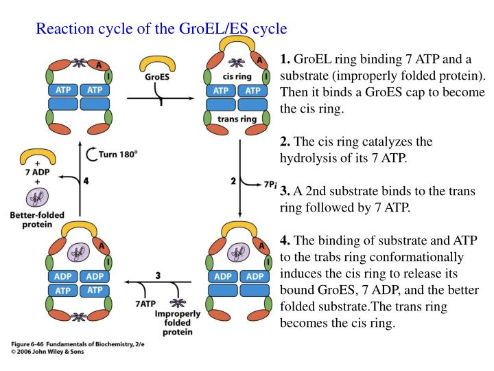 Reaction cycle of the GroEL/ES cycle