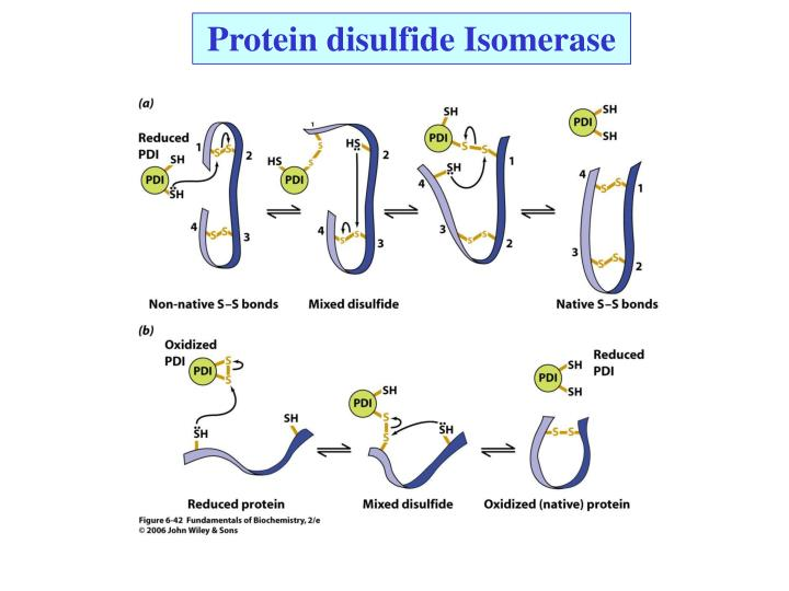 Protein disulfide Isomerase