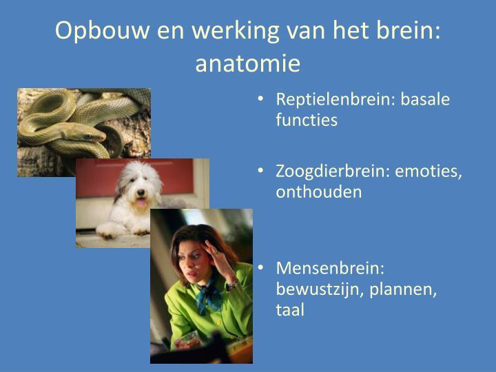 Opbouw en werking van het brein: anatomie