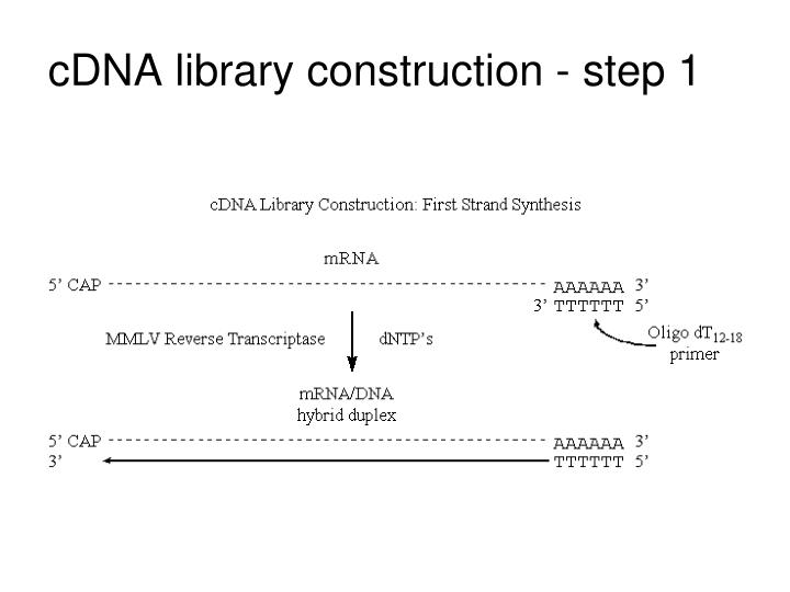 cDNA library construction - step 1