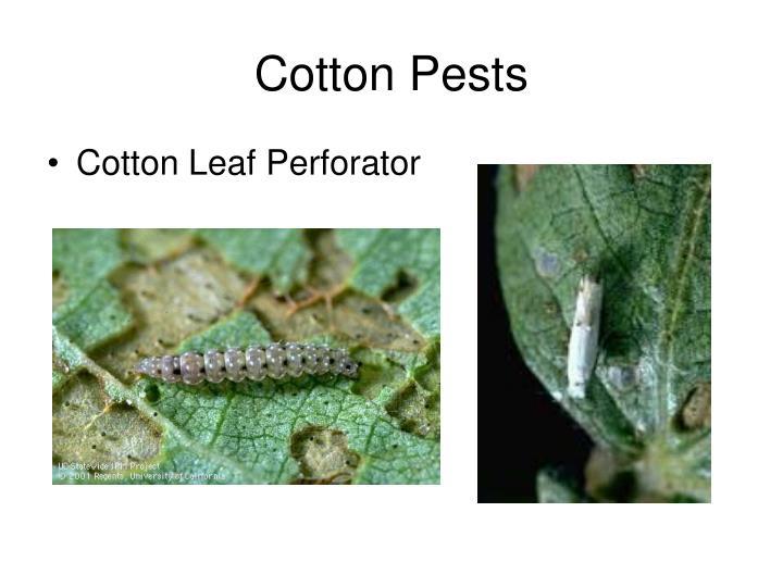 Cotton Pests