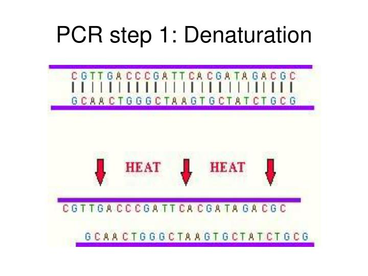 PCR step 1: Denaturation
