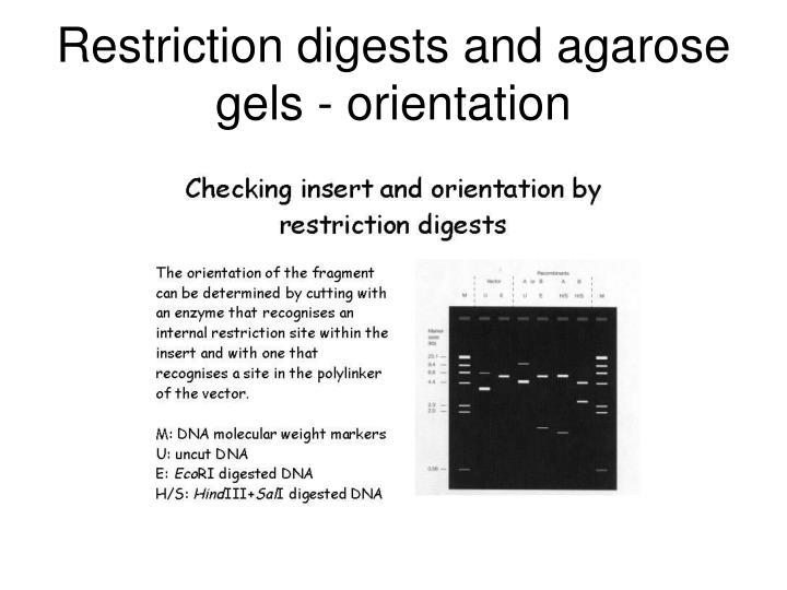 Restriction digests and agarose gels - orientation