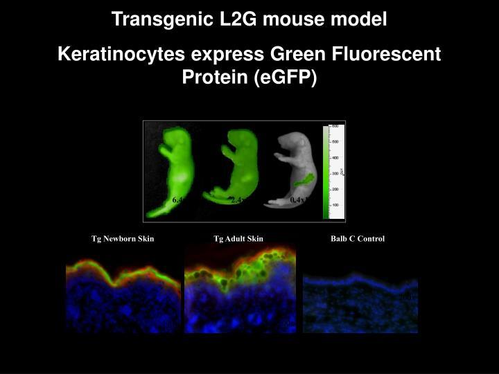 Transgenic L2G mouse model