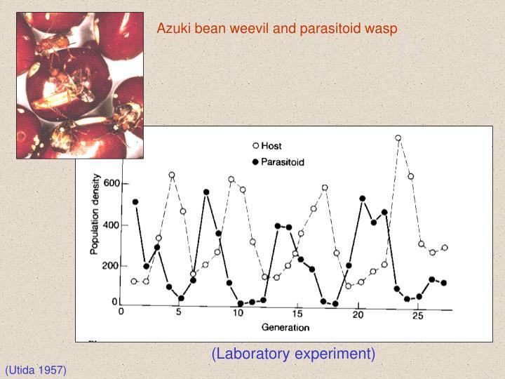 Azuki bean weevil and parasitoid wasp