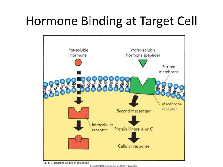 Hormone Binding at Target Cell