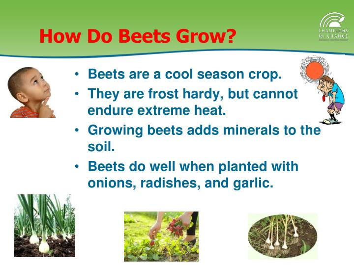 How Do Beets Grow?