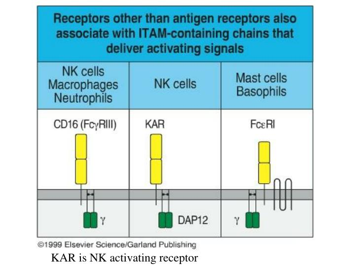 KAR is NK activating receptor