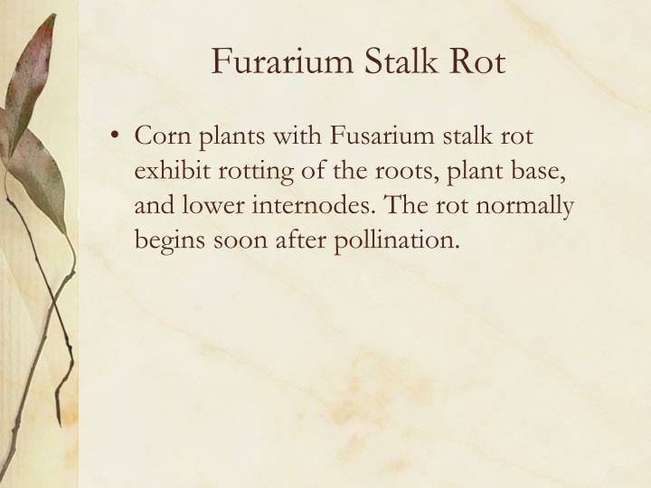 Furarium Stalk Rot